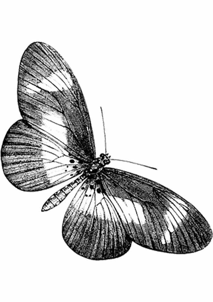 borboleta para colorir transparente