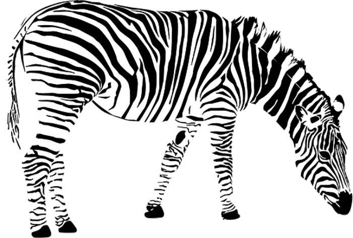 Desenho para colorir zebra