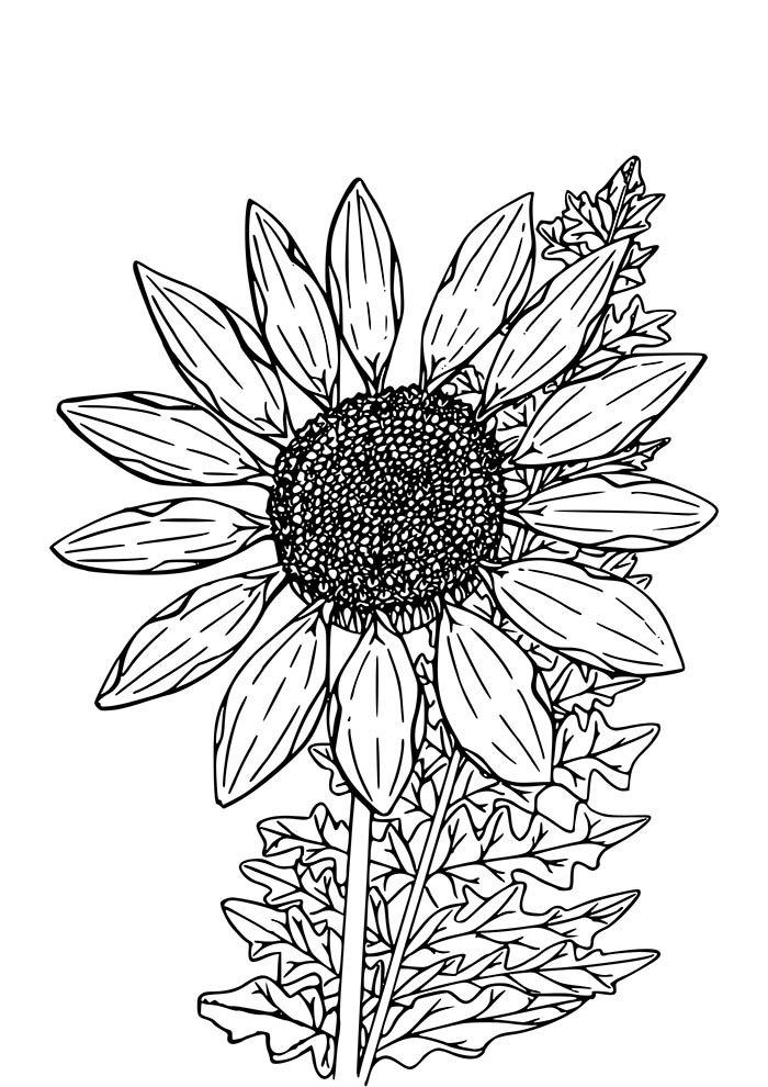 girasol com folhas para colorir