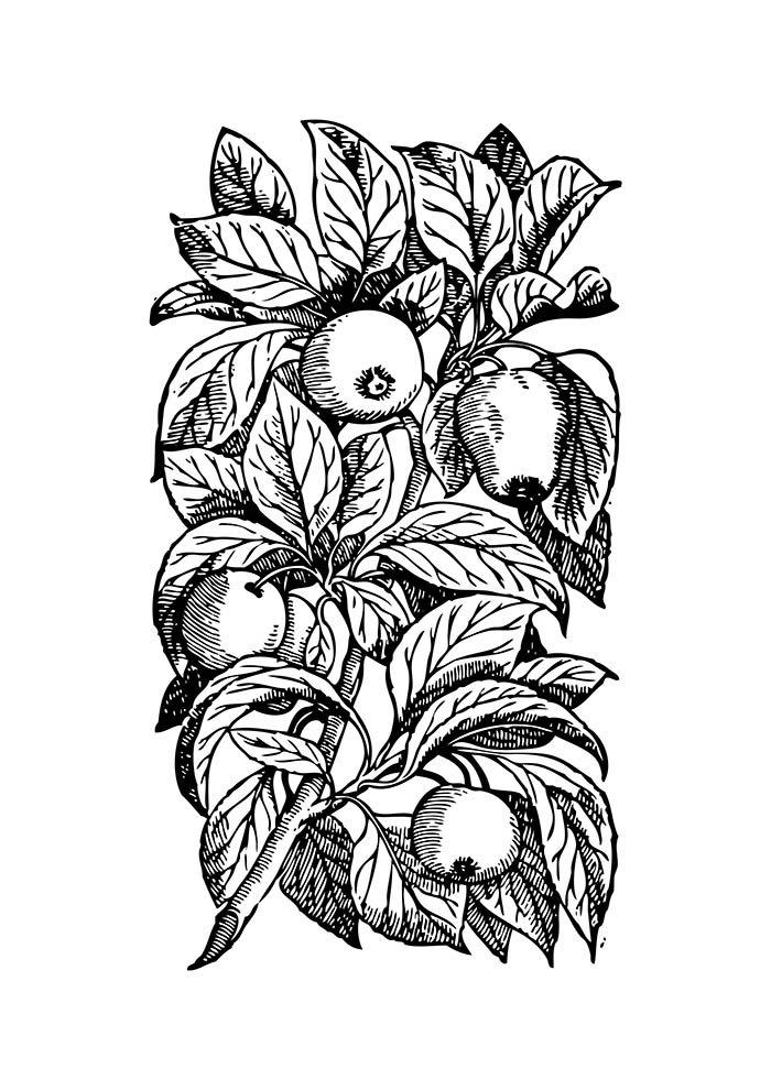 macieira para colorir