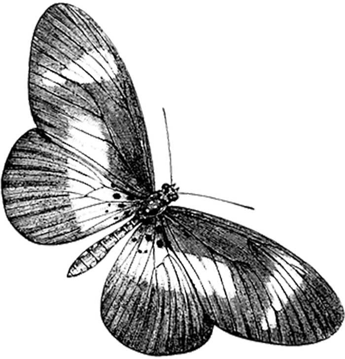 Modelo de borboleta para colorir
