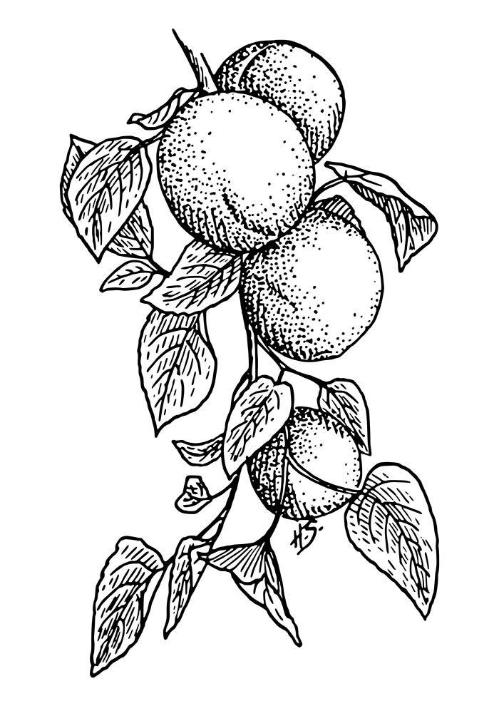 pêssegos para colorir