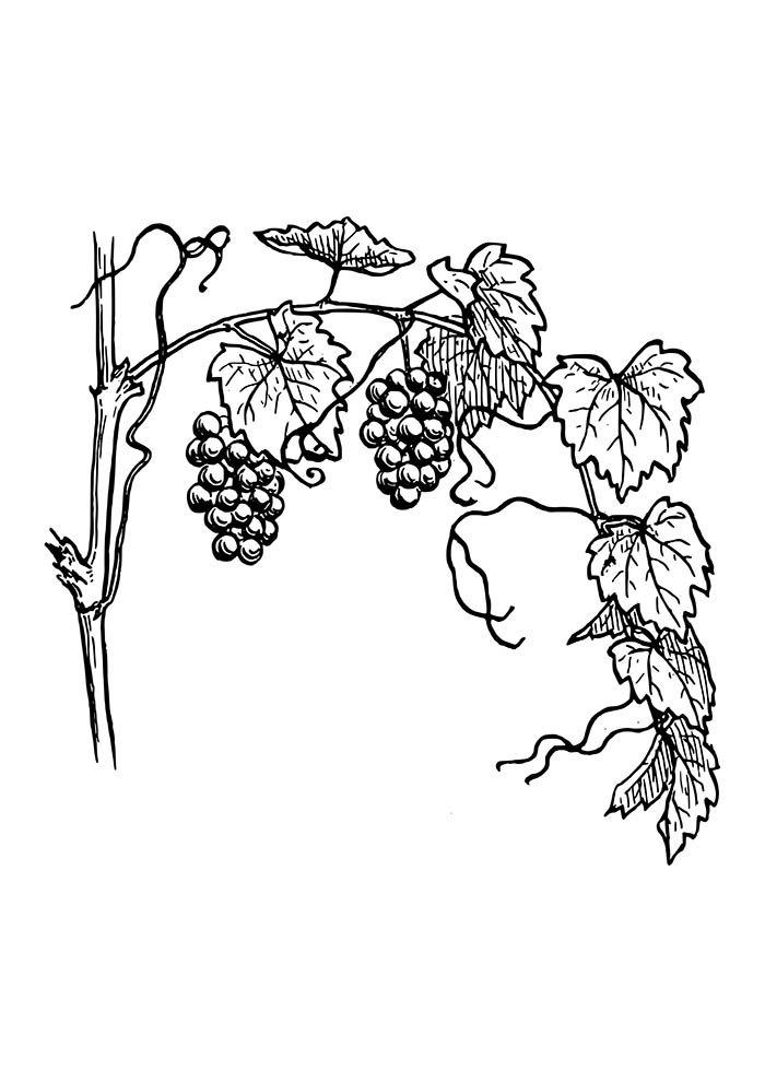 plantação de uva para colorir