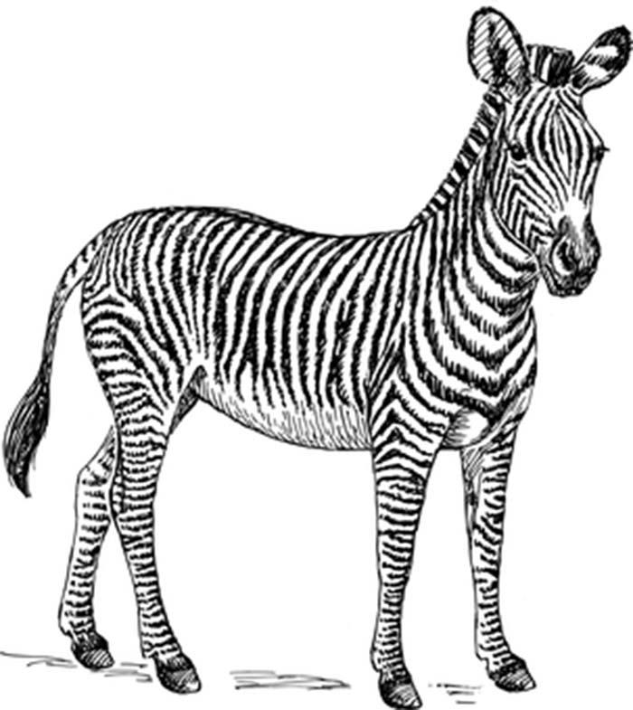 Zebra para imprimir e colorir