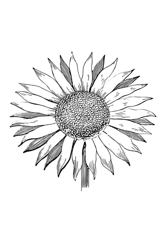 flores-para-colorir-girasol-1