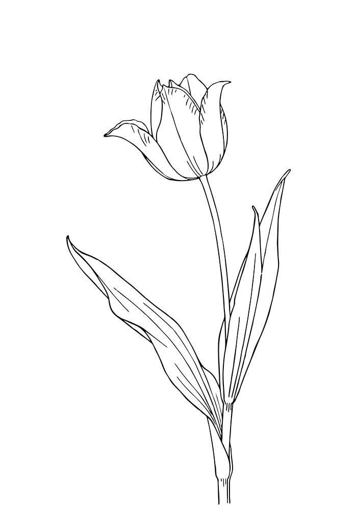 flores-para-colorir-tulipa