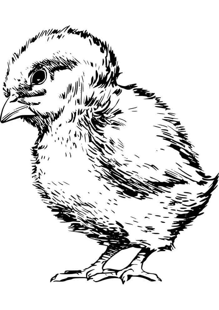 galinha para colorir pintinho