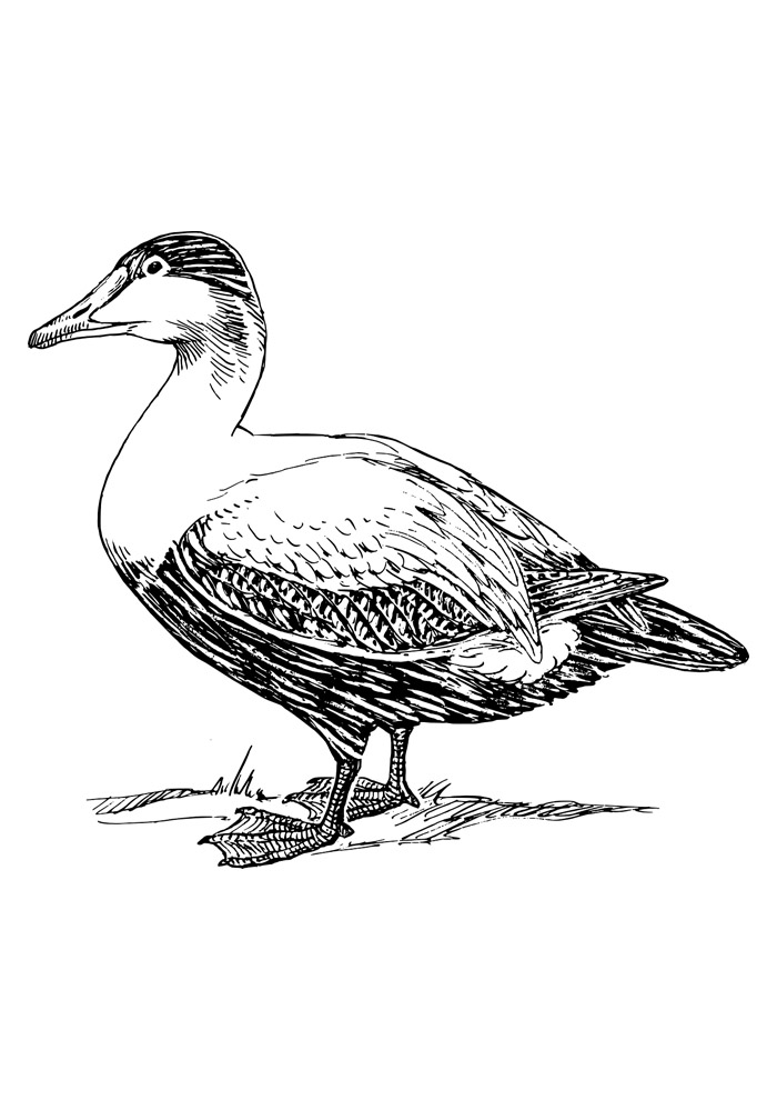 pato para colorir 5